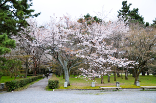 京都御苑の桜の写真素材 [FYI01235740]