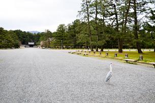 京都御苑のアオサギの写真素材 [FYI01235742]