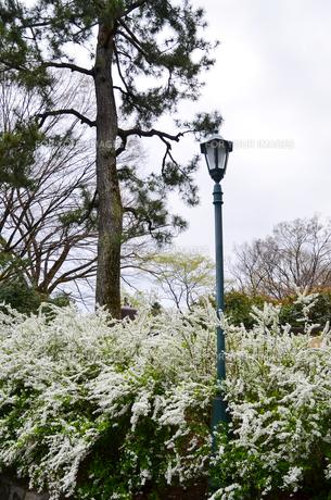 京都御苑のユキヤナギの写真素材 [FYI01235744]