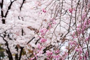 京都 平野神社の桜の写真素材 [FYI01235745]