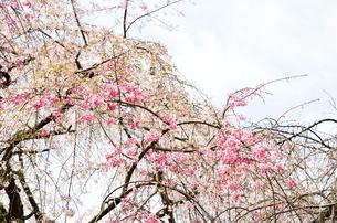京都 平野神社の桜の写真素材 [FYI01235746]