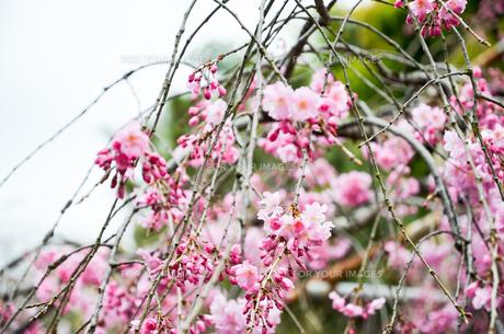 京都 平野神社の桜の写真素材 [FYI01235748]