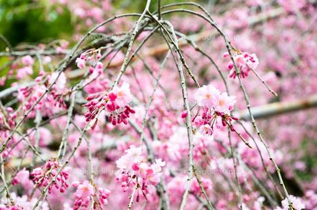 京都 平野神社の桜の写真素材 [FYI01235749]