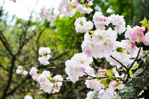 京都 平野神社の桜の写真素材 [FYI01235750]