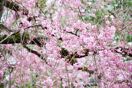京都 平野神社の桜の写真素材 [FYI01235752]