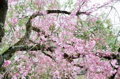 京都 平野神社の桜の写真素材 [FYI01235754]