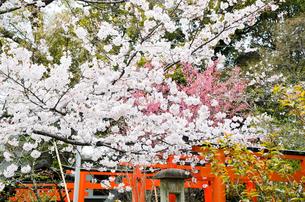 京都 平野神社の桜と鳥居の写真素材 [FYI01235758]