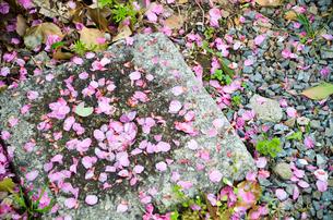 散り敷く桜の花びら 京都・平野神社にての写真素材 [FYI01235759]