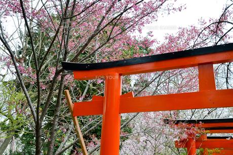 京都 平野神社の桜と鳥居の写真素材 [FYI01235760]