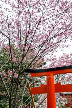 京都 平野神社の桜と鳥居の写真素材 [FYI01235761]