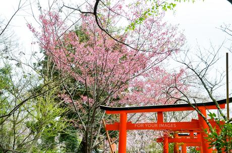 京都 平野神社の桜と鳥居の写真素材 [FYI01235762]