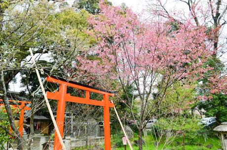 京都 平野神社の桜と鳥居の写真素材 [FYI01235763]