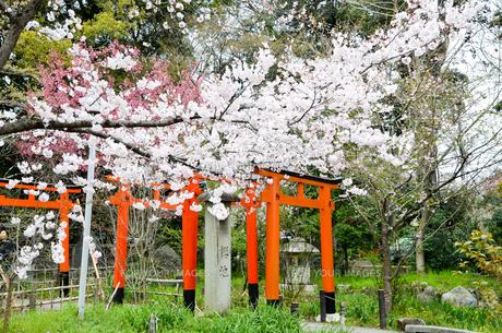 京都 平野神社の桜と鳥居の写真素材 [FYI01235764]