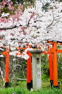 京都 平野神社の桜と鳥居の写真素材 [FYI01235766]