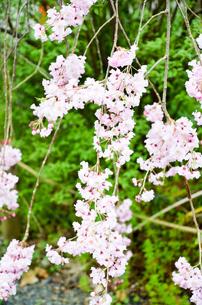 京都 平野神社の桜の写真素材 [FYI01235767]