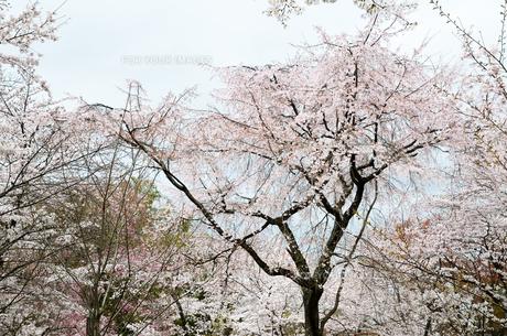 京都 平野神社の桜の写真素材 [FYI01235768]