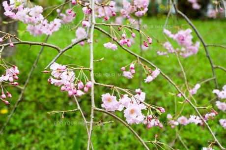 京都 平野神社の桜の写真素材 [FYI01235769]