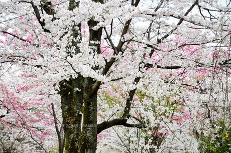 京都 平野神社の桜の写真素材 [FYI01235770]