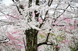 京都 平野神社の桜の写真素材 [FYI01235771]