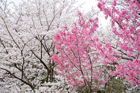 京都 上賀茂神社の桜の写真素材 [FYI01235772]