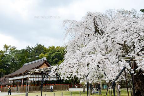 京都 上賀茂神社の桜の写真素材 [FYI01235773]