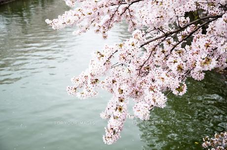 春の京都 岡崎を流れる疎水の写真素材 [FYI01235775]