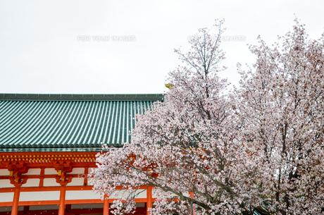 京都 平安神宮の桜の写真素材 [FYI01235777]