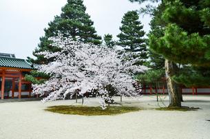 京都 平安神宮の桜の写真素材 [FYI01235779]