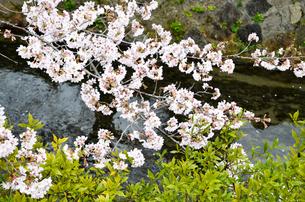京都 哲学の道の桜の写真素材 [FYI01235780]