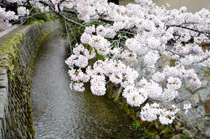京都 哲学の道の桜の写真素材 [FYI01235782]