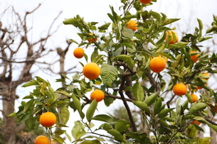 冬の木 橙の写真素材 [FYI01235836]