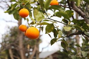 冬の木 橙の写真素材 [FYI01235837]