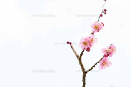 梅の花 白背景の写真素材 [FYI01236096]