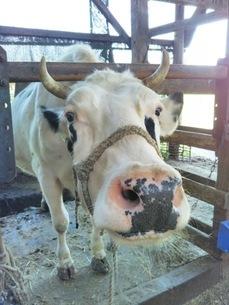 牛舎の牛の写真素材 [FYI01236112]