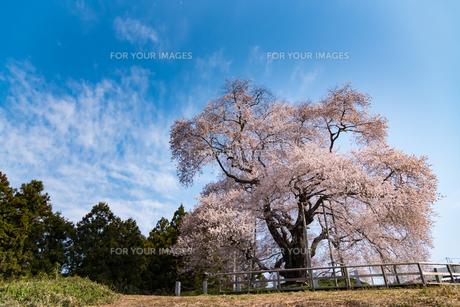 戸津辺の桜(満開)の写真素材 [FYI01236134]