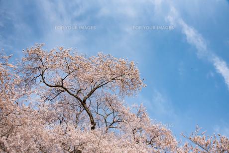 桜・青空(雲有り)の写真素材 [FYI01236137]
