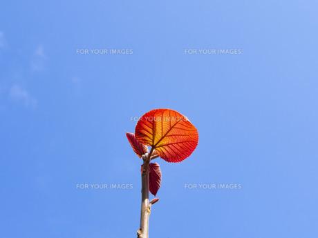 青空と葉っぱの写真素材 [FYI01236201]