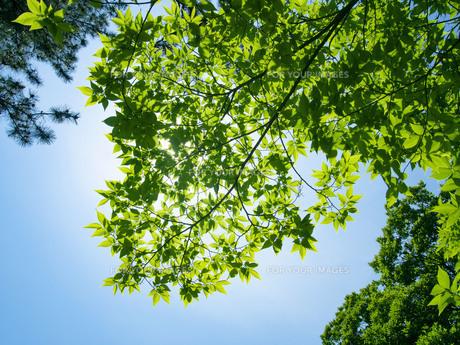 緑の透過光の写真素材 [FYI01236202]