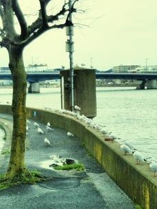 川べりのハトの写真素材 [FYI01236307]
