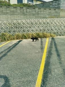 駐車場の黒猫の写真素材 [FYI01236316]