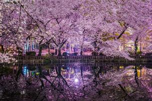 井の頭公園の夜桜の写真素材 [FYI01236317]