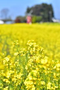 菜の花畑と遠景の風車の写真素材 [FYI01236507]