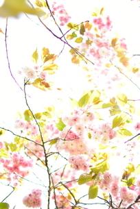 光の中の八重桜の写真素材 [FYI01236510]