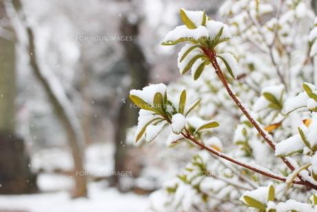 千葉県 本土寺の境内の雪景色の写真素材 [FYI01236559]