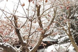 千葉県 本土寺の境内の雪景色の写真素材 [FYI01236566]