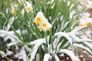 千葉県 本土寺の雪景色 境内の植物 水仙の花の写真素材 [FYI01236580]