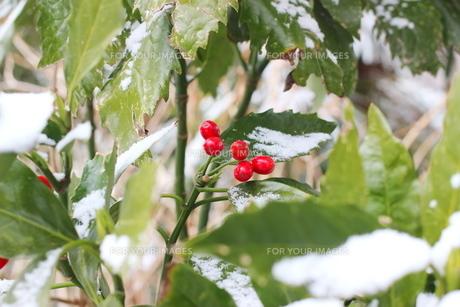 千葉県 本土寺の雪景色 境内の植物 南天の赤い実の写真素材 [FYI01236585]