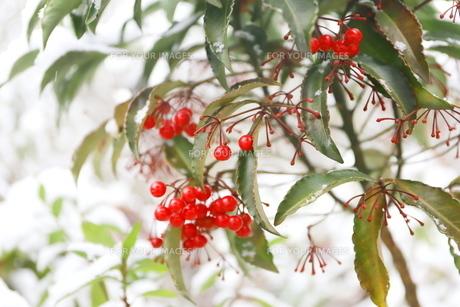 千葉県 本土寺の雪景色 境内の植物 南天の赤い実の写真素材 [FYI01236590]