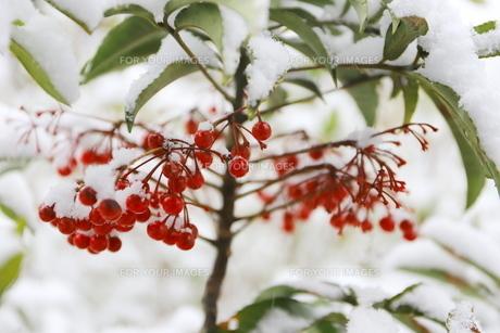 千葉県 本土寺の雪景色 境内の植物 南天の赤い実の写真素材 [FYI01236593]