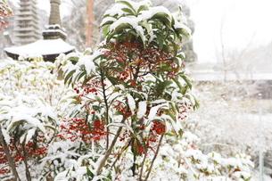 千葉県 本土寺の雪景色 境内の植物 南天の赤い実の写真素材 [FYI01236595]